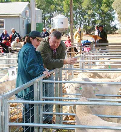 Buyers inspect the Dorper Rams up for auction. OM.