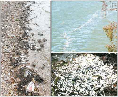 Clockwise from left: A trail of bony bream on the shore of Lake Cargelligo, the line of dead fish still floating in the water and a pile of dead bream at Frogs Hollow.