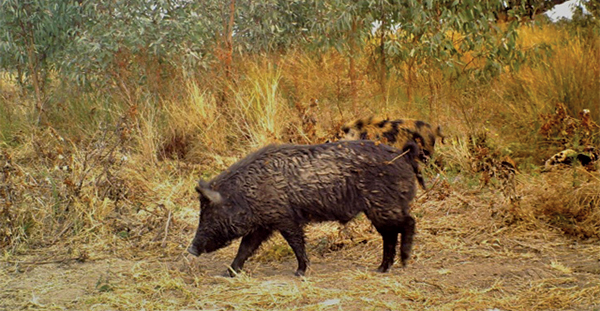 Feral pig numbers are increasing across the Lachlan Shire.