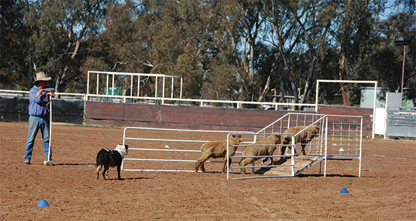 Local Sheep Dog trials were held to great success at Condobolin last Saturday attracting 58 participants.